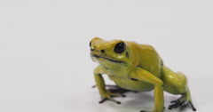 Dart frog hop out of screen Stock Footage