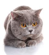 Evil gray British Shorthair cat with brown eyes Stock Photos