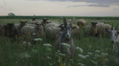 Flock of Sheep eating Grass on Field Stock Footage