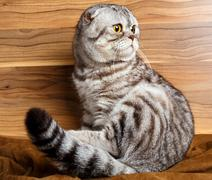 Bicolor stripes cat with yellow eyes Scottish Fold Stock Photos