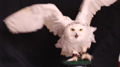 Snowy owl is a large diurnal Owl Stock Footage