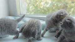 Blotched tabby kittens breed Scottish Fold Stock Footage