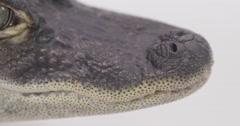Alligator face close up Stock Footage