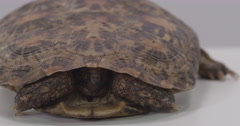 Pancake turtle emerging from shell Stock Footage