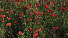 Blooming field of red poppies Stock Footage