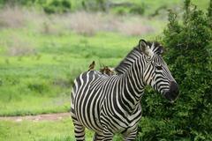 Zebra Botswana Africa savannah wild animal picture Stock Photos