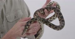 Fox Snake Zookeeper handling serpent Stock Footage