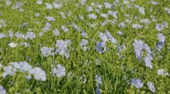 Flowering blue flax field Stock Footage