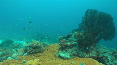 Coral reef with a sea fan and a grey reef shark. 4k Stock Footage