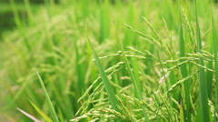 Follow focus close up video of ripening green rice ears  Stock Footage