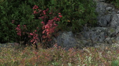 Red leaves and conifer branches blow in the wind against rock face Stock Footage