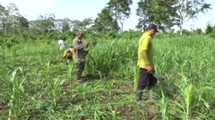 Brazilian farmers clean cornfield eliminating weeds Stock Footage
