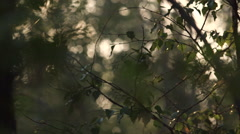 Focus shift of trees in forest at sunset Stock Footage