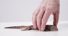 Tokay Gecko Hand moving lizard arm Stock Footage