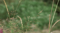 Panning close up of dead grass stalks and red leaves Stock Footage