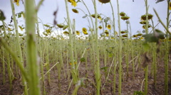 Panning shot of destroyed sunflower field with no vascular bundles 4K Stock Footage