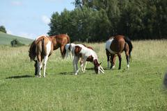 Batch of paint horses on pasturage Stock Photos