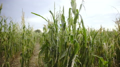 Person field of view walking through destroyed corn field 4K Stock Footage