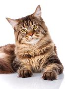 Portrait Maine Coon cat With long brown wavy hair Stock Photos