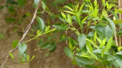 Jasminum volubile, known as Stiff Jasmine Stock Footage