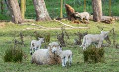 Mother And Her Lambs Stock Photos