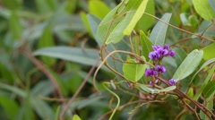 Hardenbergia violacea in pea family Fabaceae Stock Footage
