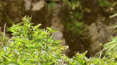 Lantana camara, also known as big-sage, wild-sage, red-sage, white-sage and t Stock Footage