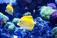 Beautiful zebrasoma salt water aquarium fish Stock Photos