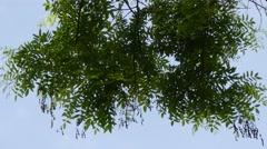 Styphnolobium japonicum Schot Stock Footage