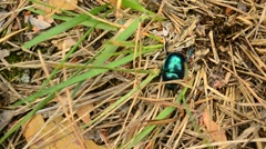Geotrupidae. Greenish dor beetle crawls on soil in forest and walks out of frame Stock Footage