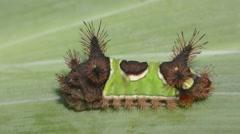 Saddleback Caterpillar (Acharia stimulea) Stock Footage