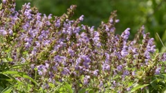 Salvia officinalis (sage, also called garden sage, or common sage) is a peren Stock Footage
