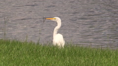 White Egret near pond and flies away Stock Footage