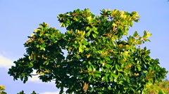 Top branches of a magnolia tree in the period of vegetative growth on a brigh Stock Footage