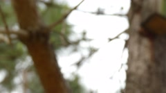 Pinus canariensis or Canary Island pine Stock Footage