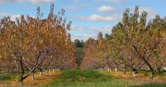 Autumn Apple Orchard with Blue Sky and Clouds, static shot Stock Footage