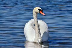 White mute Swan (Cygnus olor) Stock Photos