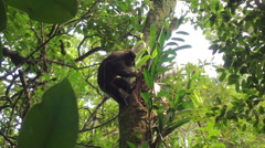 Macaco Prego climbing in tree of jungle searching for food Stock Footage