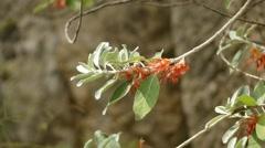 Teucrium heterophyllum (Lamiaceae) Stock Footage