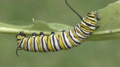 Monarch Butterfly Caterpillar (danaus plexippus) Stock Footage