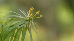 Kleinia neriifolia (Asteraceae) Stock Footage