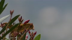 Nerium oleander is an evergreen shrub Stock Footage