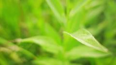 Centaurea scabiosa or Greater Knapweed Stock Footage