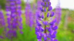 Lupinus, commonly known as lupin or lupine Stock Footage