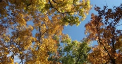 Autumn Leaves Against Blue Sky with slight breeze, static shot, wide Stock Footage