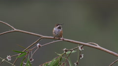 Allen's Hummingbird on Flowery Branch 4k Stock Footage