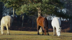 4K Wild ponies grazing in a forest in the sunshine Stock Footage
