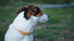 Cute Jack Russell Terrier dog Stock Footage