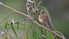 Female House Finch on Flowery Branch Windy Day Stock Footage
