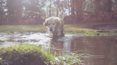 4K Golden retriever dog running through a muddy puddle within a forest Stock Footage